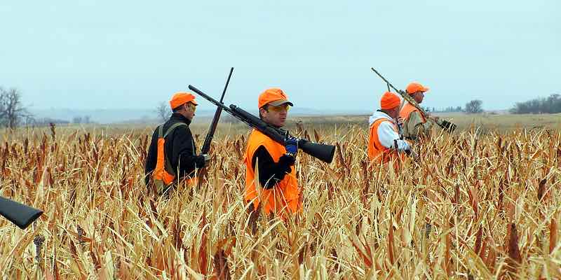 Picture of pheasant hunters walking slowly in a field